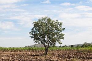 árbol en el campo de caña foto