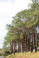 Pines growing in the park photo