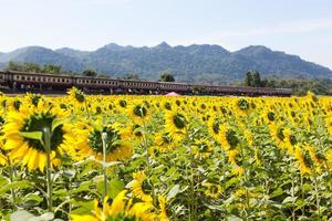 Sunflower field with a train