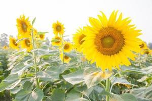Sunflowers on a sunflower farm photo