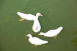 patos en el estanque