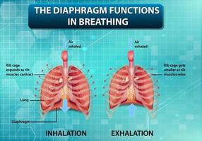 The diaphragm functions in breathing vector