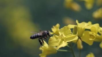 una abeja poliniza una flor amarilla en el jardín video