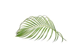 Tropical green palm leaf isolated photo