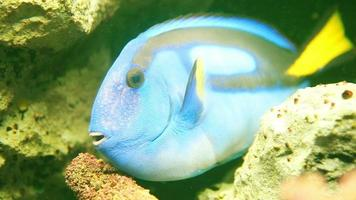peixe pacific blue tang ou paracanthurus hepatus video