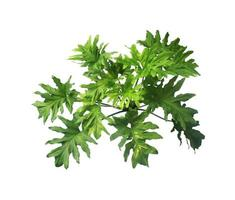 Philodendron plant isolated photo