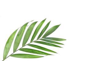Green tropical palm tree leaf on white photo