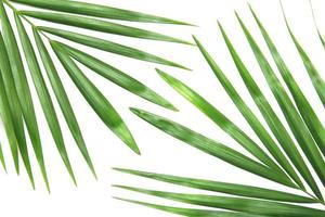 Green tropical palm tree leaves photo