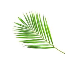 Tropical bright green leaf on white photo