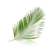 Lush green coconut leaf