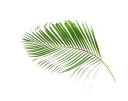 Lush green coconut palm leaf
