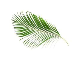 Coconut palm leaf isolated