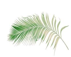 Faded tropical branch isolated