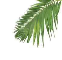 hoja de coco verde sobre blanco foto