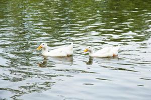 patos en el agua