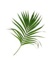 exuberante follaje de palmera verde