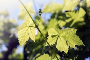 Grape green leaves in sunshine
