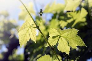 hojas de uva verde bajo el sol foto