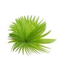 follaje verde tropical aislado