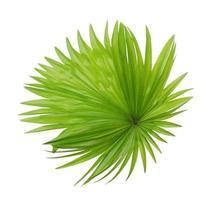 follaje de palmera verde sobre blanco