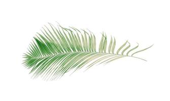 Faded coconut leaf on white