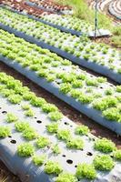 campo de hortalizas en tailandia