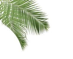 ramas de coco en blanco foto