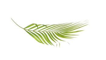 Curved tropical palm leaf on a white background