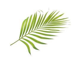 Green tropical palm leaf on white