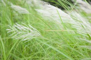 Flowers of grass photo
