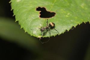 hormiga en una hoja foto