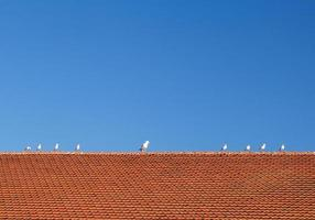 Birds on tiled roof