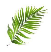 hoja de coco verde sobre fondo blanco
