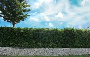 Green hedge and brick wall photo