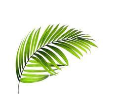 una sola hoja de palmera tropical