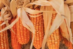 Group of dried corn