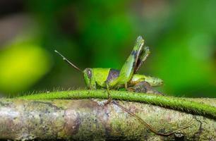 Grasshopper on the twig