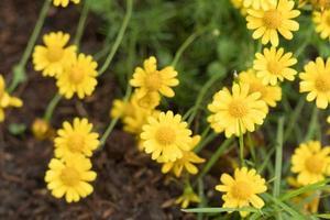 margaritas amarillas en el jardín