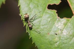 hormiga negra en una hoja foto