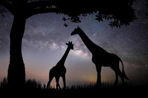 The silhouette of a giraffe and two trees on a background with stars photo
