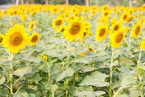 Sunflowers on the field photo