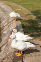 patos blancos en el parque