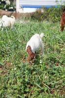 cabras comiendo pasto