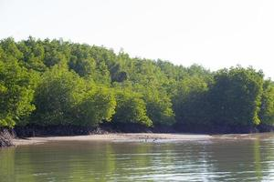 Mangrove forest in Thailand photo