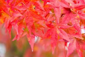 hojas de otoño rojas en japón foto