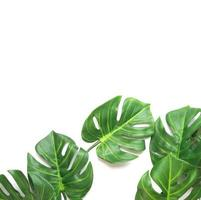 Tropical monstera palm leaves with copy space photo