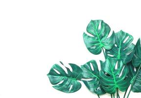 Blue green monstera leaves photo