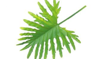 Green philodendron leaf photo