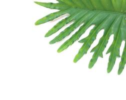 Philodendron leaf on white photo