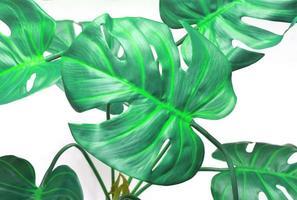 Vibrant green monstera leaves photo